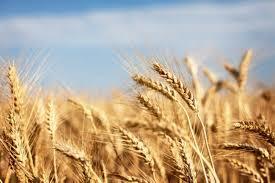 High Quality Organic Wheat