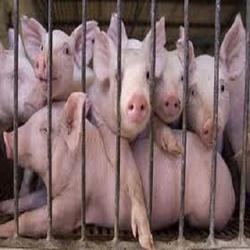 Pig Farm Service