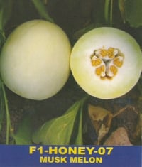 Hybrid Muskmelon Seeds F1-Honey-07