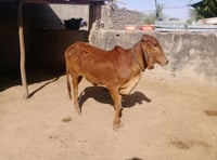 Indian Breed Cows