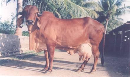 Gir Cow in Karnal, Haryana, India - CHAUDHARY DAIRY FARM (RAJU)