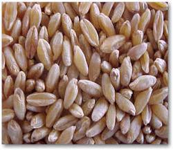 Duram Wheat
