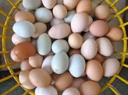 Top Quality Chicken Hatching Eggs