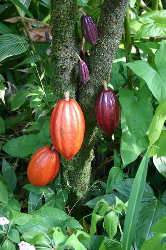 Cocoa Butter Plant