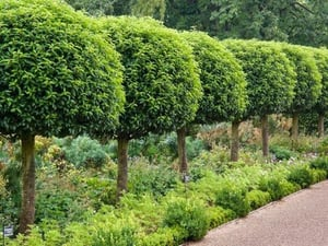 Tree Shape Cutting Services