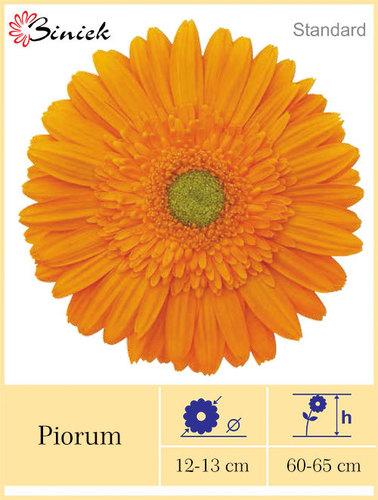 Gerbera Plants Piorum Flower 12-13 cm
