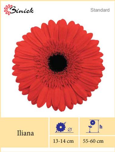 Red Gerbera Plants Iliana Flower 13-14 cm