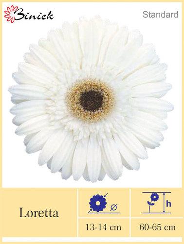 White Gerbera Plants Loretta Flower 13-14 cm