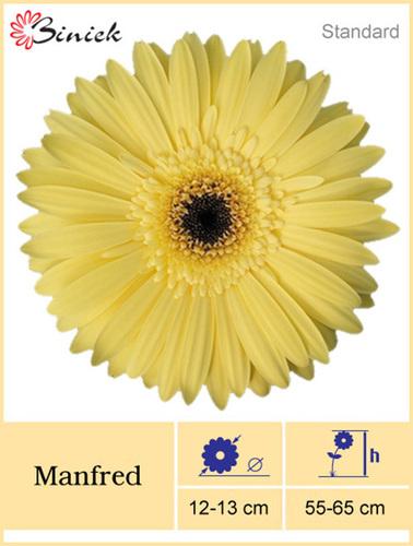 Yellow Gerbera Plants Manfred Flower 12-13 cm