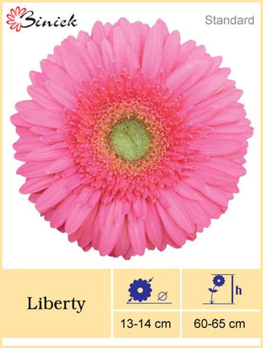 Gerbera Plants Liberty Flower 13-14 cm