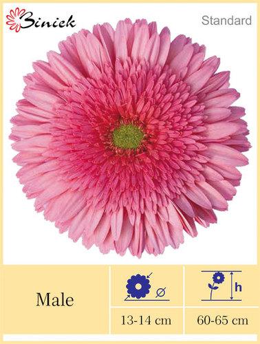 Gerbera Plants Male Flower 13-14 cm
