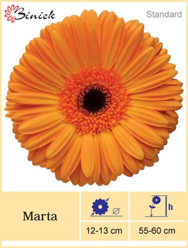 Gerbera Plants Marta Flower 12-13 cm