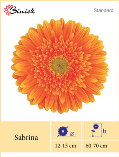 Gerbera Plants Sabrina Flower 12-13 cm in  Mangalwar Peth