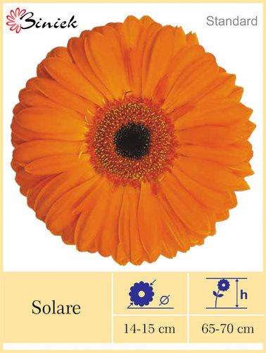 Gerbera Plants Solare Flower 14-15 Cm