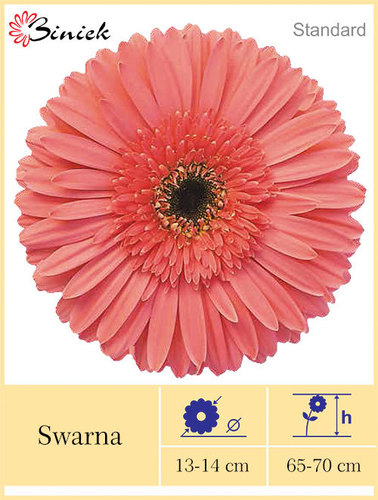 Gerbera Plants Swarna Flower 13-14 cm