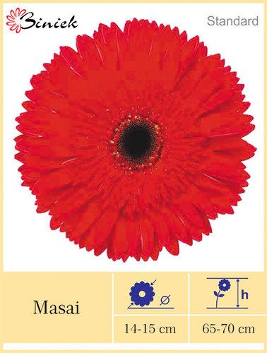 Red Masai Gerbera Plants Flower 14-15 cm
