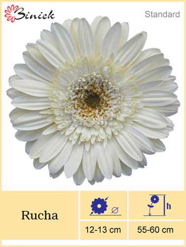 White Gerbera Plants Rucha Flower 12-13 cm