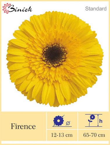 Yellow Gerbera Plants Firence Flower 12-13 cm