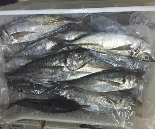 WR Skipjack Tuna Fish