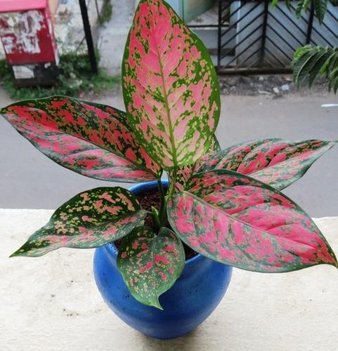 Agleonema Aglaonema Plants