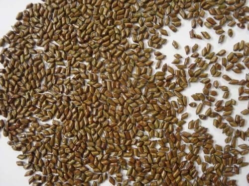 Cassia Seeds in   Padav Road