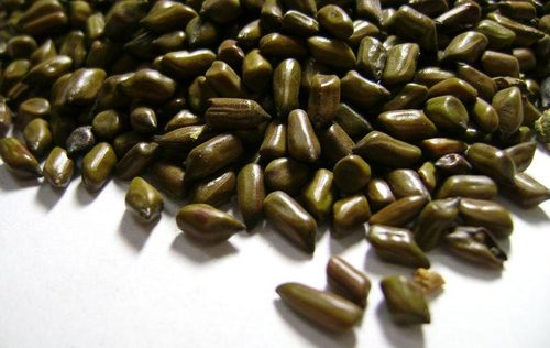 Cassia Torea Seeds in   Padav Road
