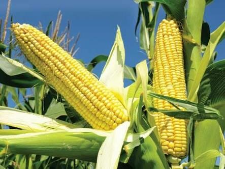Fresh And Nutritious Corn