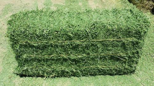 Fresh Alfalfa Hay