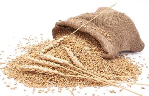 Wheat Grain in   Ward No. 5