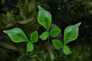 Vilvam Leaves