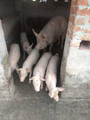 Healthy Piglets