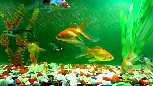 Ornamental Fish, Ornamental Fish Manufacturers & Suppliers