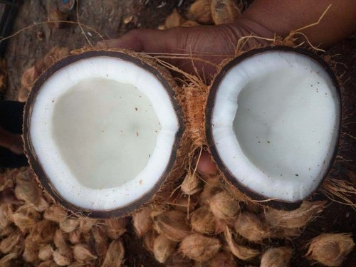 Coconut Mature