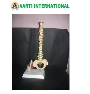 Mini Spinal Column With Hip Joint Model