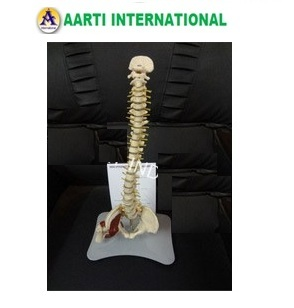 Spine With Hip Joint Model