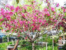 Bahunia Blackiana Plant