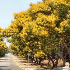 Pheltophorum Plant