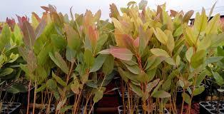 Clone Eucalyptus Plant