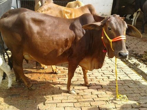 Brown Sahiwal Cow
