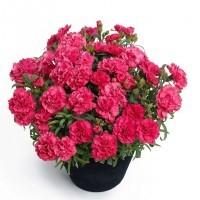 Carnations Plant