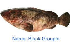 Blacl Fish Grouper Fish