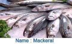 Mackerral Fish