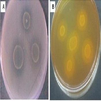 Phosphate Solubilizing Micro Organisms