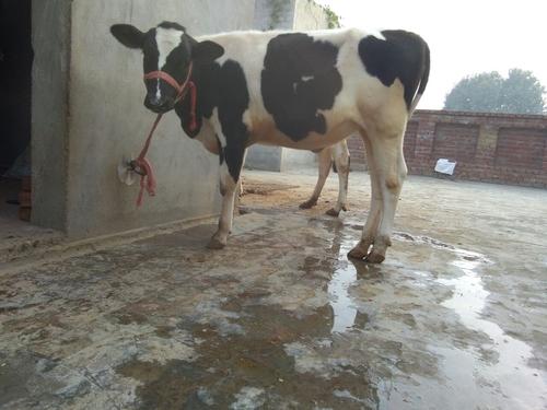 HF Cow Calf in   Near Tau Devi Lal Chowk