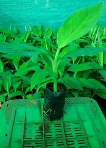 Banana Tissue Culture Plants In