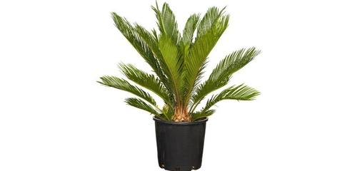 Date Palm Suppliers, Date Palm Exporters, Manufacturers