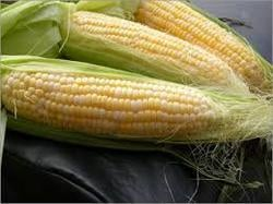 Pure Maize With Premium Quality