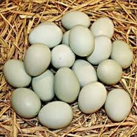 Fresh Duck Eggs For Hatching