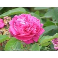 Sandal Wood Rose Attar