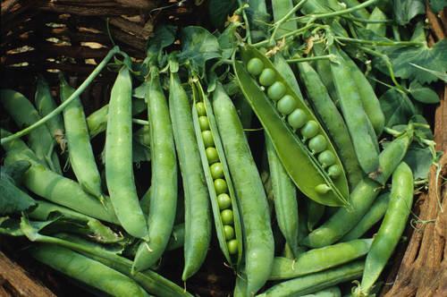 Fresh And Organic Green Peas
